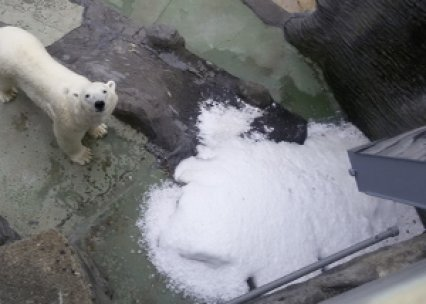 The polar bears of Prague Zoo are grateful for MAJA Flake Ice